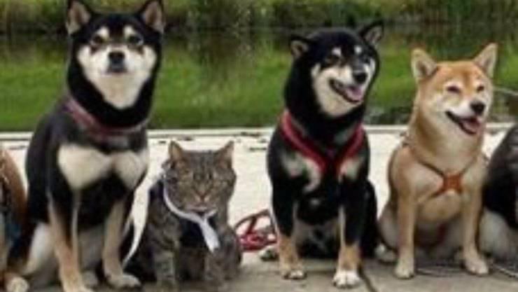 gatto kiki cani shiba inu