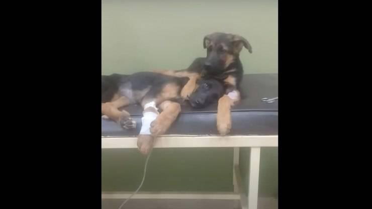 cane conforta sorella parvovirus