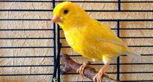 canarino uccellino uccello