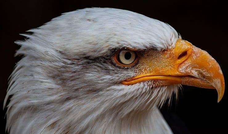 Occhi animali infallibili: l'aquila