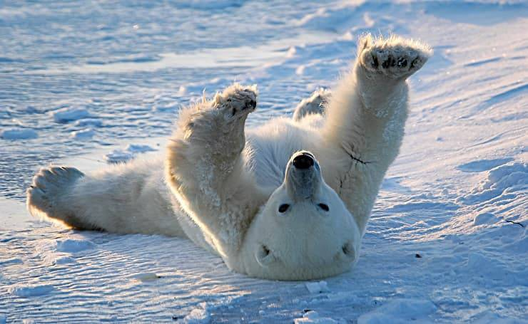 orso polare pelle e peli