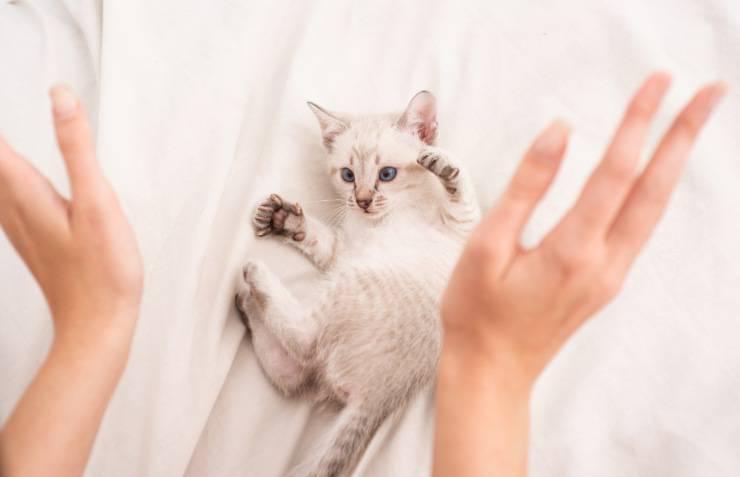 sindrome del dolore orofacciale felina