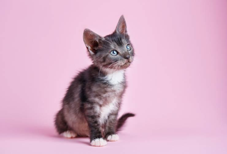 gattino gatto