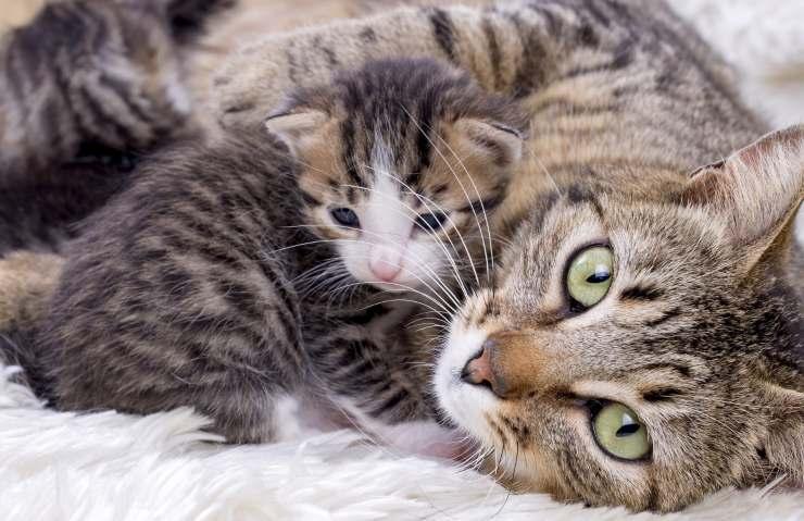Mamma gatto dopo il parto