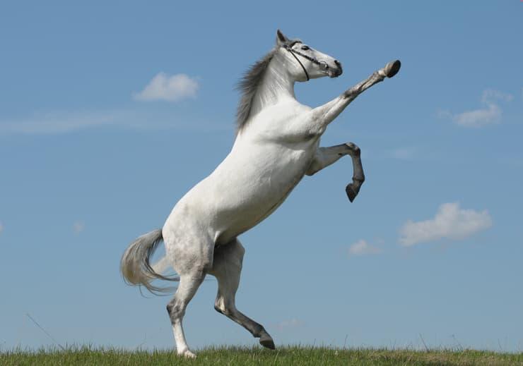 il cavallo impenna anche quando si spaventa