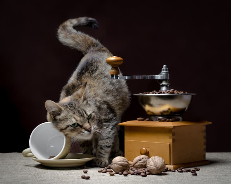 Le noci sono velenose per il gatto?  (Foto Adobe Stock)