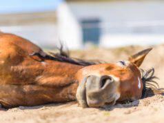 Colica nel cavallo (Foto Adobe Stock)