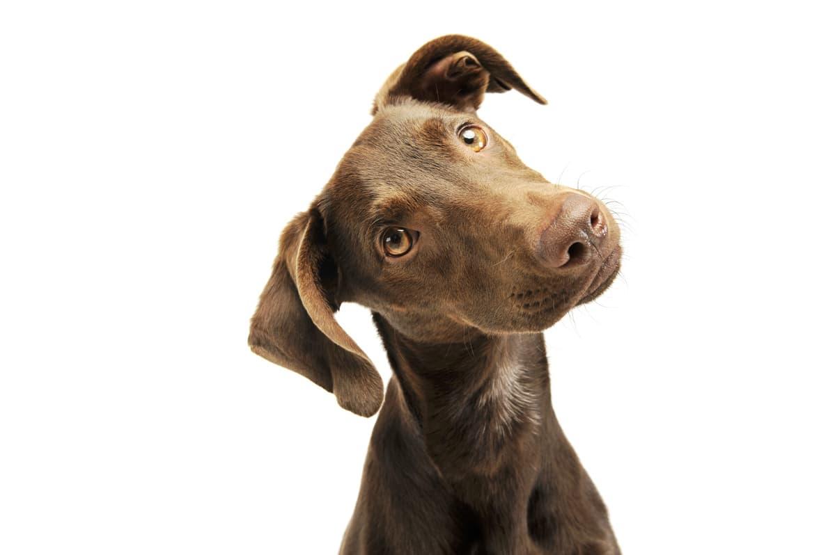 Flehmen nel cane (Foto Adobe Stock)