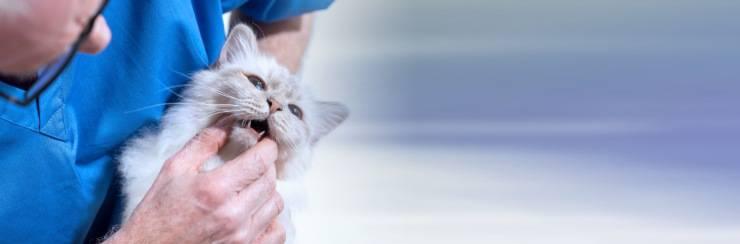 Gatto senza denti