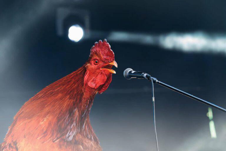 Il gallo canta troppo presto: cosa stabilisce la legge