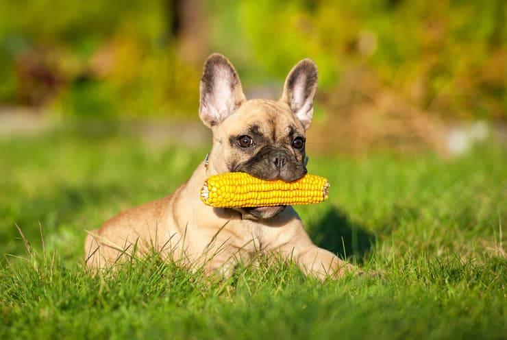 Cane con pannocchia (Foto Adobe Stock)