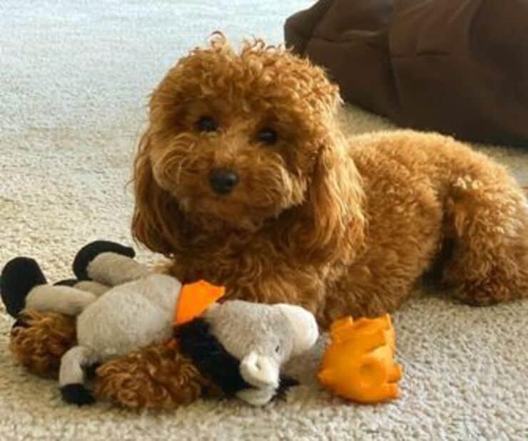 Brownie Il cane di Alessia Marcuzzi