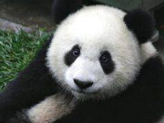 occhiaie del panda