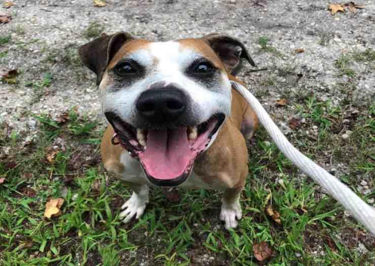 Toro, il cane Pitbull a metà abbandonato cerca una nuova famiglia (foto Facebook)