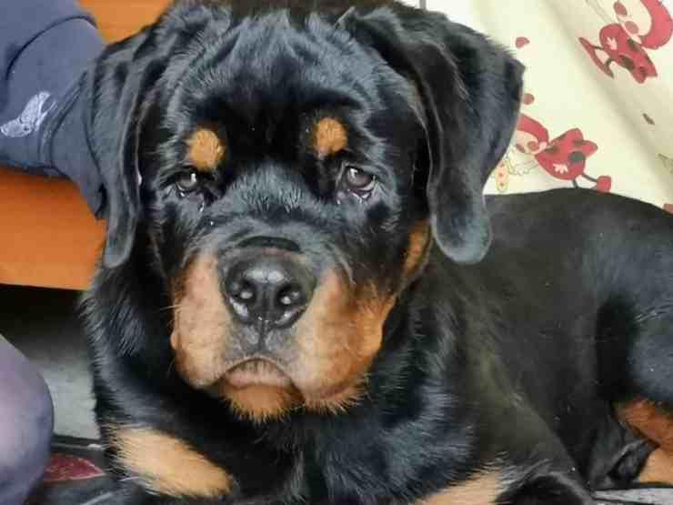 Milo, il cane acquistato su eBay (foto Facebook)