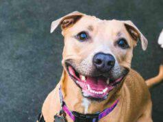 Il cane Pitbull che per due anni ha vissuto legato a un termosifone (foto Facebook)