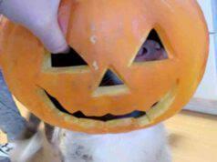 Halloween, il cane Luke che infila la testa nella zucca per mangiarla (foto Facebook)