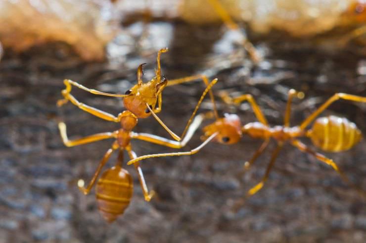 La formica arborea