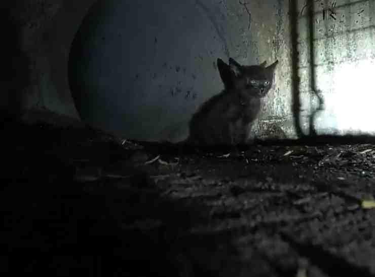 Cucciolo di gatto tratto in salvo da un condotto fognario (screenshot Twitter)