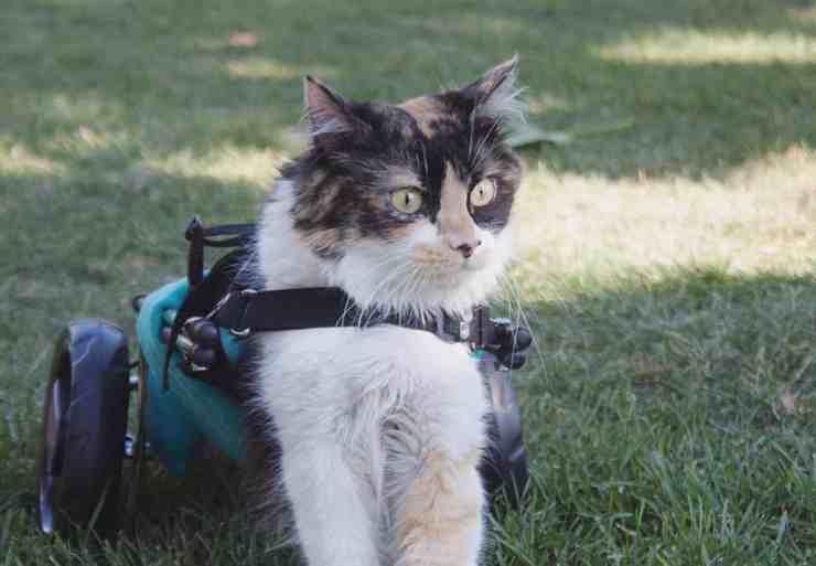 Sally, la gattina vittima di maltrattamento rimasta paralizzata (screenshot Instagram)