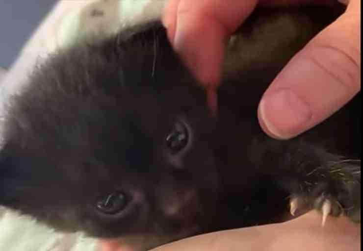 Bear, il cucciolo di gatto abbandonato in un parco (screenshot YouTube)