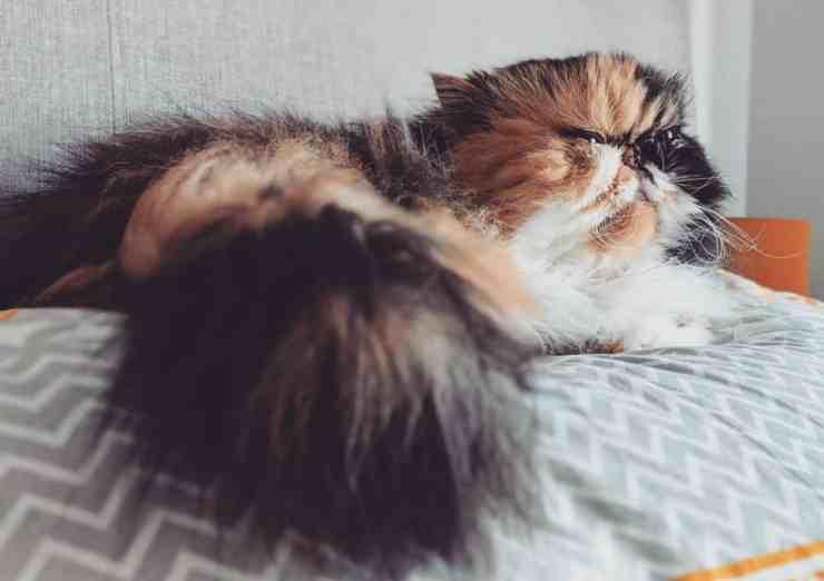 Jassie, dall'abbandono all'adozione: la storia della gattina cieca (foto Instagram)