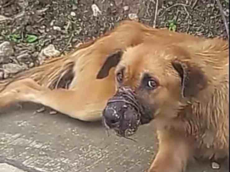 Il cane Balboa col muso legato da un filo di ferro (screenshot YouTube)