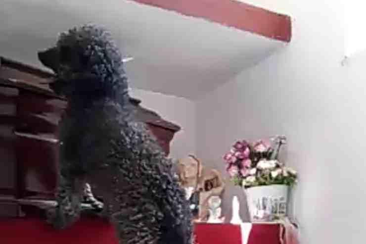 Benito il cane che va a trovare la sua defunta proprietaria (screenshot Twitter)