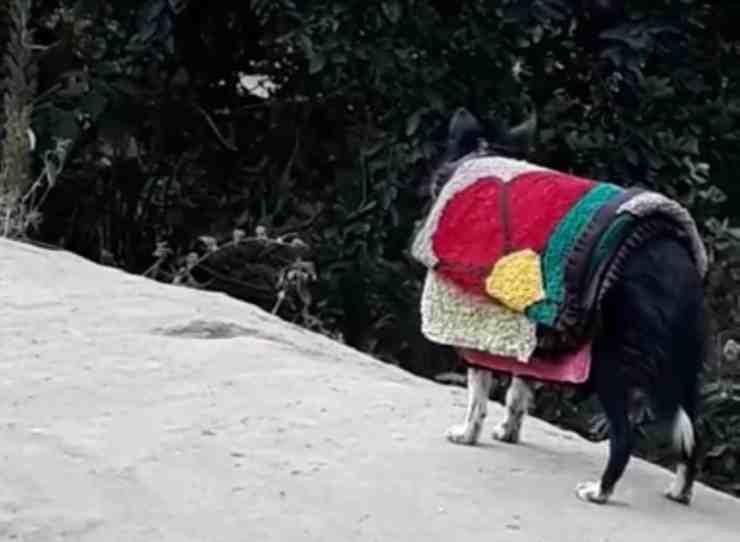 Lassye, il cane che aiuta la proprietaria a stendere il bucato (screenshot Facebook)