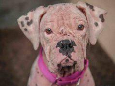 """La storia di Asia, il cane Pitbull soprannominato il """"dalmata rosa"""" (foto Instagram)"""
