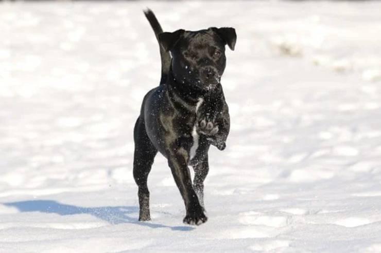 Patterdale Terrier adulto