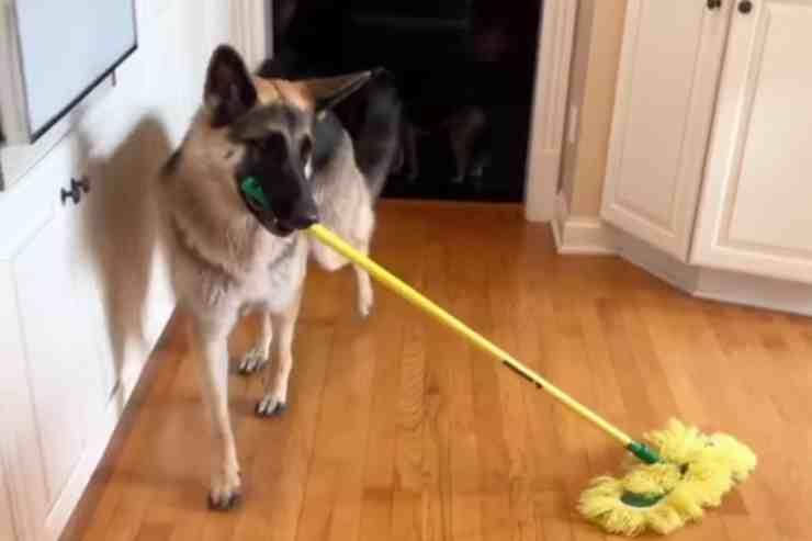 "Anya, il pastore tedesco ""Cenerentola"" che fa le pulizie in casa (screenshot YouTube)"
