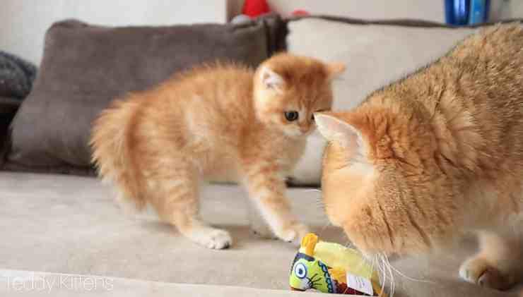 Papà gatto incontra per la prima volta suo figlio (screenshot YouTube)