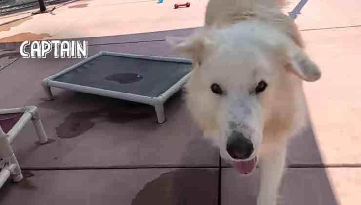 Captain, il Labrador di 52 kg che dopo due abbandoni trova casa (screenshot YouTube)