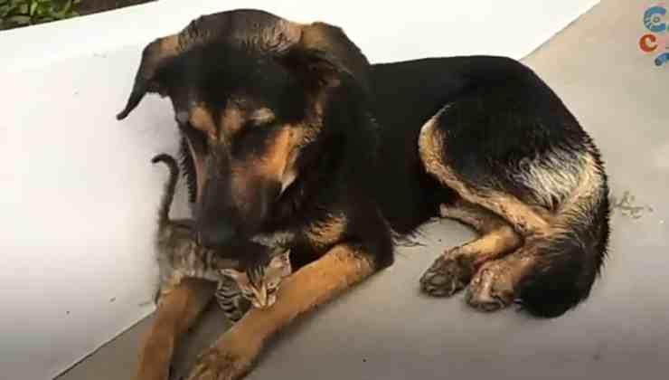 Toast, il pastore tedesco che ha salvato un cucciolo di gatto randagio (foto YouTube)