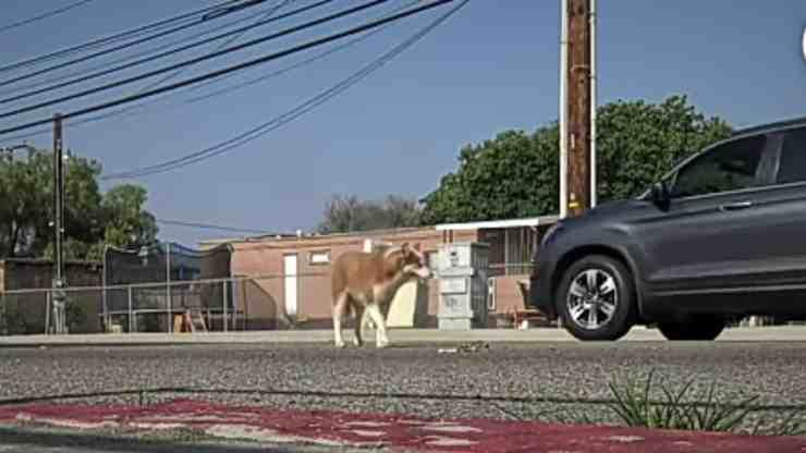 Lilac, il cane che aveva paura dell'uomo salvato dai volontari (screenshot YouTube)
