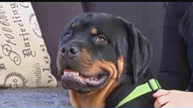 Hero, il cane Pitbull che ha salvato la vita a una sconosciuta (screenshot YouTube)