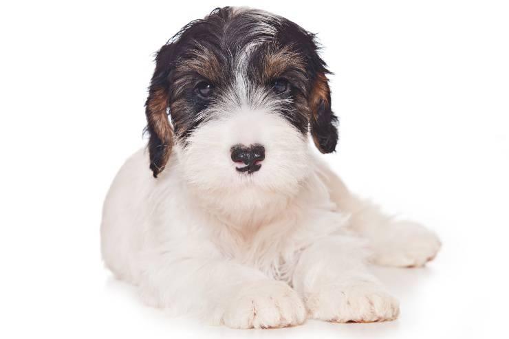 Sealyham terrier cucciolo