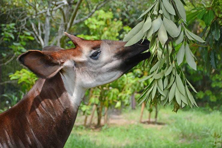 okapi giraffa