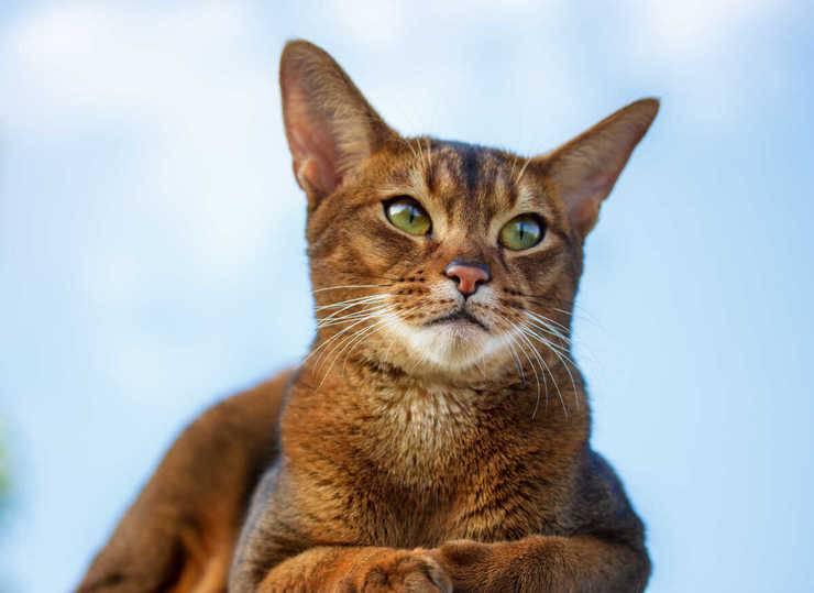 gatto abissino malattie comuni