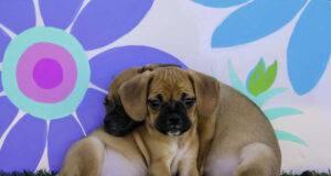 puggle incrocio