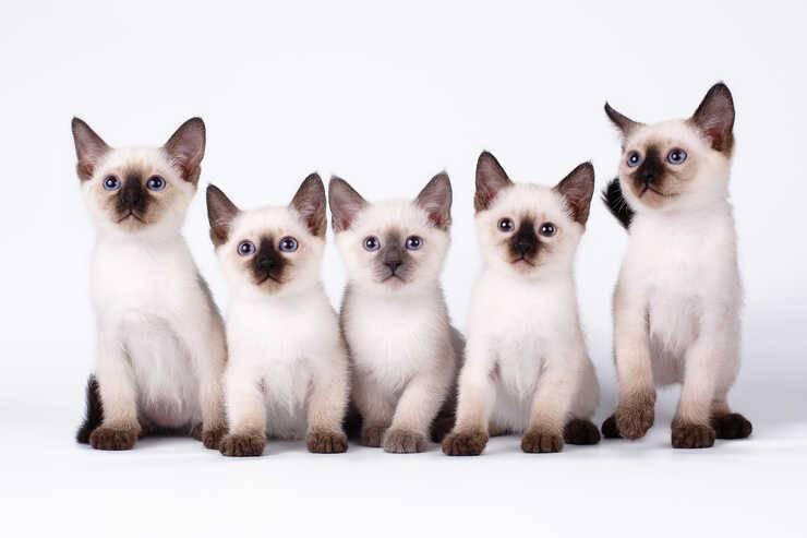 razze gatti che vivono più a lungo