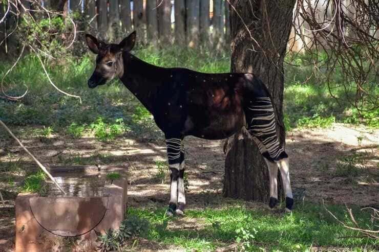 giraffide