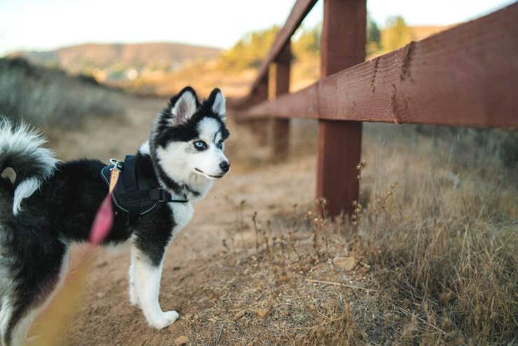 cane ibrido