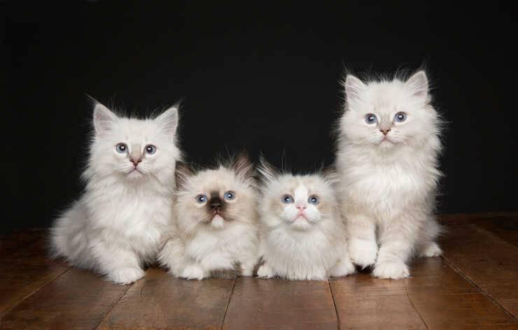 Razze di gatti che vivono più a lungo