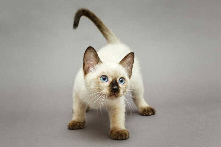 perché gatto insegue coda