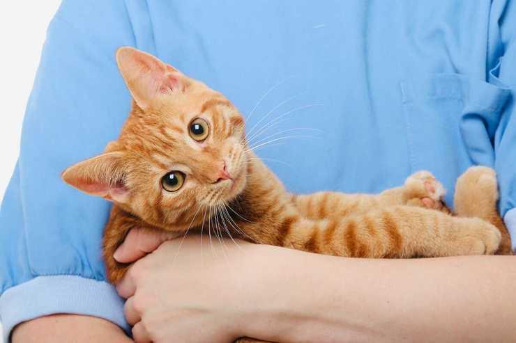 displasia anca gatto