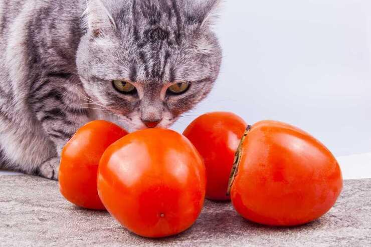 Il gatto può mangiare cachi? (Foto Adobe Stock)