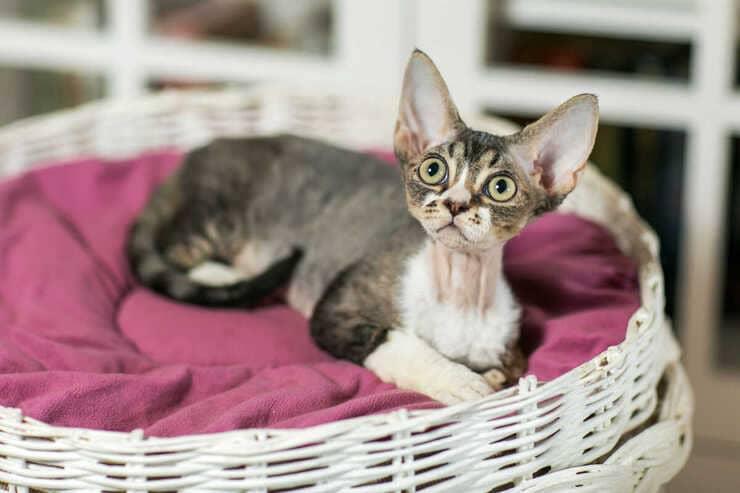 Lussazione della rotula nel gatto