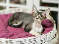 lussazione rotula gatto